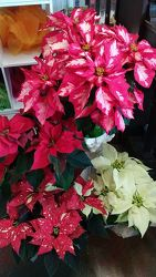 Christmas Poinsettia from Ladybug's Flowers & Gifts, local florist in Tulsa