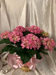 Pink Hydrangea Plant from Ladybug's Flowers & Gifts, local florist in Tulsa