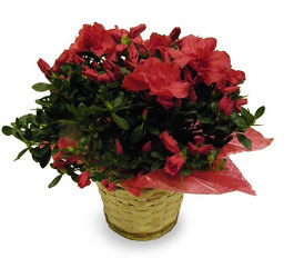 Attractive Azalea  from Ladybug's Flowers & Gifts, local florist in Tulsa
