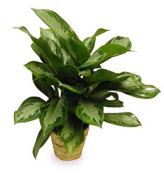 Chinese Evergreen from Ladybug's Flowers & Gifts, local florist in Tulsa