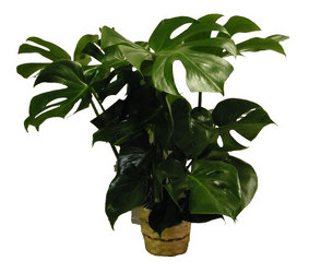 Philodendron from Ladybug's Flowers & Gifts, local florist in Tulsa