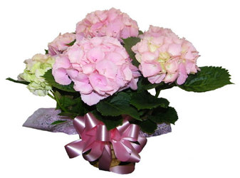 Hydrangea Plant from Ladybug's Flowers & Gifts, local florist in Tulsa