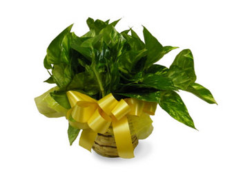 Pothos Ivy Plant from Ladybug's Flowers & Gifts, local florist in Tulsa